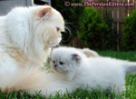 persian cats image