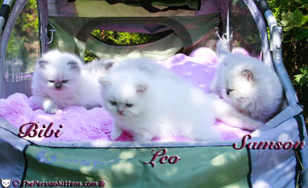 Persian Kittens in a Stroller